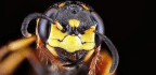 The Wasp That Paints Its Nursery In Bacteria