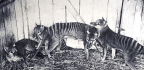 Scientists Sequence Extinct Tasmanian Tiger's Genome