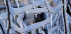 Scientists Are Enrolling Trees in a Wet Bark Contest to Understand the Effects of Ice Storms