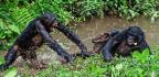 Unlike Humans, Bonobos Shun Helpers And Befriend The Bullies