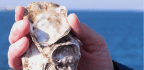Military Turns to Oyster Reefs to Protect Against Storms