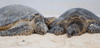 Climate Change Means 'Virtually No Male Turtles' Born In A Key Nesting Ground