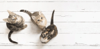 Cat Lovers, Is Your Cat Right- Or Left-Pawed?