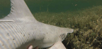 This Tiny Shark Eats Grass and It's Doing Just Fine