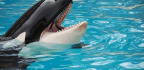 Listen to This Orca Saying 'Hello'—for Science!