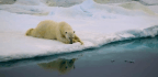 Polar Bears Could Become Extinct Faster Than Was Feared, Study Says