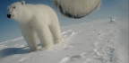 What Scientists Learned From Strapping a Camera to a Polar Bear