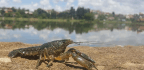 A Pet Crayfish Can Clone Itself, and It's Spreading Around the World