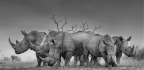Remembering Rhinos