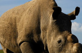 World's Last Male Rhino Getting Help From Tinder Dating App..