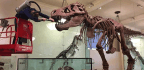 T. Rex Survived Millions Of Years. But At This Museum It Needs A Hand Battling Dust