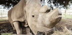 With The Last Male Ailing, The Northern White Rhino Is Almost Gone