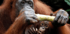 Captive Orangutans Are Curious (But Wild Ones Are Not)