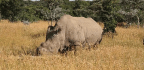 The Last Male Northern White Rhino Just Died, But Science Could Still Make Him A Daddy