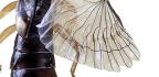 'Origami' Gripper Unfurls Like An Earwig's Amazing Wing