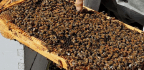 In San Francisco, Hotels Welcome Bees As Honored Guests
