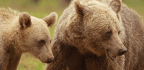 New Study Finds Mother Bears Are Sticking Around With Their Cubs Longer