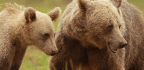 Bear Cubs Get More Motherly Love When Their Moms Are Protected From Hunters, Research Finds