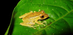 Frog Skin Secretions Offer The First Ray Of Hope In A Deadly Fungal Epidemic