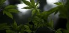 Where Marijuana Is Legal, Opioid Prescriptions Fall, Studies Find