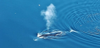 Bowhead Whales Sing A Varied, Jazzy Repertoire