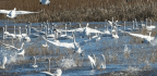 Changes To Conservation Policy Could Put The Future Of Migratory Birds Up In The Air