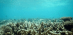 A Healthy Reef Is Alive With Music, But The Chorus Fades As The Coral Dies.