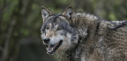 Landowner Aims To Bring Wolves Back To Scotland, Centuries After They Were Wiped Out