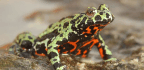 The Origins of the Killer Fungus Driving Frogs to Extinction