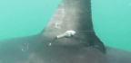 Great White Sharks Have A Secret 'Cafe,' And They Led Scientists Right To It