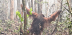 Wildfire Smoke Is Messing With Orangutan Diet And Sleep