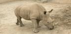 How To Impregnate A Rhino