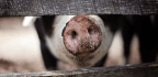 Cleaner Pig Poop Could Reduce Bacon's Environmental Burden