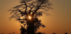 Trees That Have Lived for Millennia Are Suddenly Dying