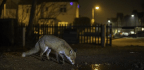 Fear of Humans Is Making Animals Around the World Go Nocturnal