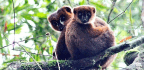 Sex Hormones Don't Keep Lemur Dads From Being Good Parents