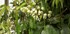 """The Nepali """"Sausage Vine"""" Evergreen Plant Is Famous In The United Kingdom, Yet Remains Unknown In Nepal"""