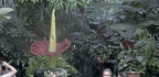 Run, Don't Walk, To See New York City's Latest Corpse Flower Bloom