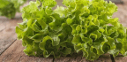 New Tech Could Soon Let You Test Whether Your Lettuce Carries E. Coli