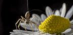 Arachnids May Sense Electrical Fields To Gain A True Spidey Sense