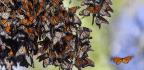 Prisoners Help Solve Butterfly Migration Mystery