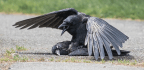Crows Sometimes Have Sex With Their Dead