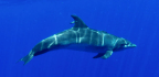 Supercharged Blood Helps Some Dolphins Dive 1,000 Meters