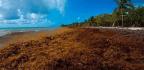 Masses Of Seaweed Threaten Fisheries And Foul Beaches
