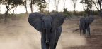 Diamond Company Plans To Move 200 Elephants From South Africa To Mozambique