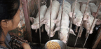 Why China's Pork Producers Can Survive Without US Soybean Imports