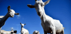 Why Did Someone Unleash a Bunch of Goats in a Quiet Neighborhood?