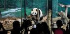China Making Huge Profits From Its Giant Panda Protection Programme