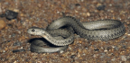 Could This Tibetan Snake Provide The Answer To Altitude Sickness?