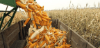 Could China's Waste Mountains Of Corncobs Fuel A Greener Future?